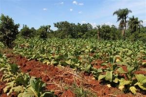 Plantação de Tabaco Mata Fina
